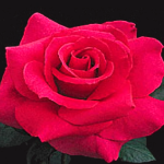 Rose-Red.png